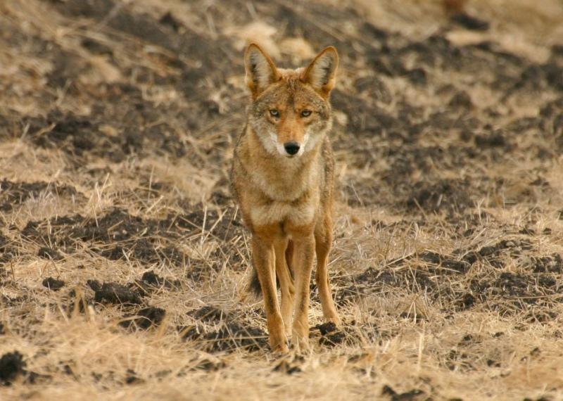 010  Coyote on Mora Trail_3676Shrp`0311131008.jpg