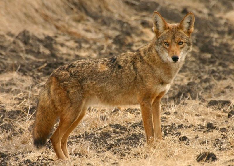 011  Coyote on Mora Trail_3681Shrp`0311131008.jpg
