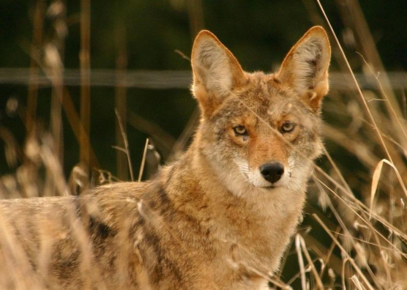 012  Coyote looking thru dried grass_3696`0311131012.JPG