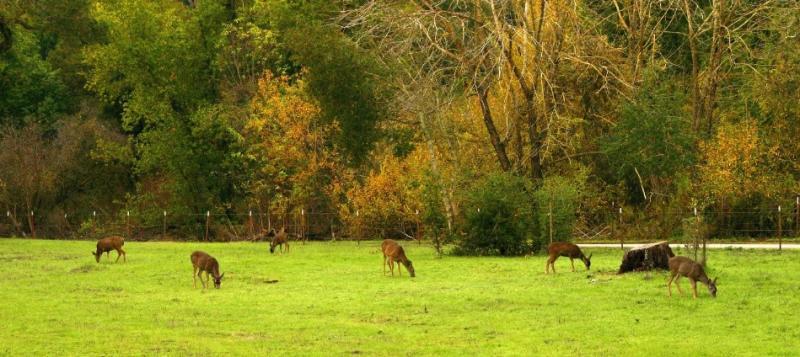 023  6 deer grazing on 2nd mdw_4613`0312190936.jpg