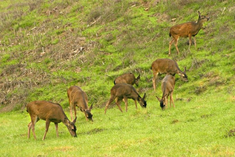 024  7 deer grazing in 3rd mdw_4623`0312190945.jpg