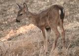 007  Young deer_3535`0311130755.JPG