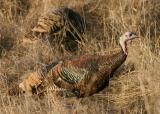 008  Wild turkey_3568`0311130829.JPG