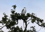 009  White hawk`q in tree_3626`0311130912.JPG