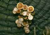 031  `dbird's nest`d fungus_4930`0401100922.JPG
