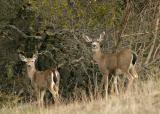 046  2 deer looking back at us (cropped)_6092Ps`0402231204.JPG