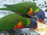 Ernie's visiting lorikeets with bread and marmalade