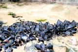 mussels in a rock pool