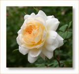 Crocus Rose.