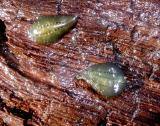 Green leeches with brown dots