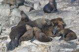 Los Lobos - Sea Wolves (Sea Lions to us)