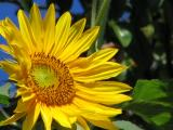 Suncokret - 10xoptical 3x digital zoom.jpg