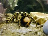 Tarantula taken through glass.jpg(299)