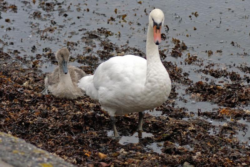 Swan & Signet