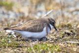 Dotterel Nesting