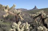 Cholla Cactus & Weaver's Needle