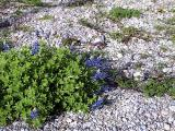 First Blooming Bluebonnet Plant 2004