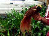 The beautiful Bird of Paradise of Papua New Guinea
