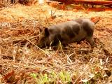 Pigs are a show of wealth in PNG