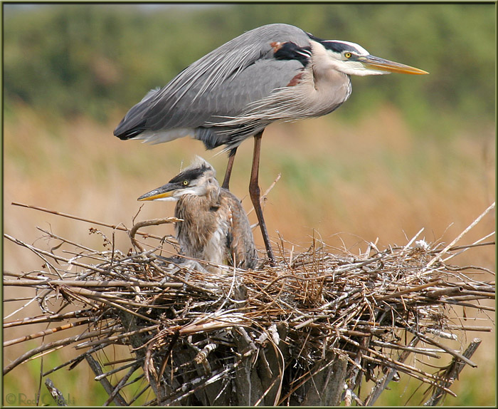 Nest 1 - Great Blue Heron & Chick