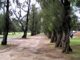 Ironwood Tree  Tunnel