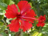 Native Red Hibiscus