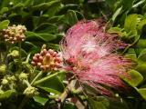 Monkeypod (Samanea (=Albizia) saman)