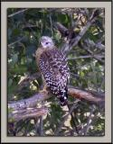 Red-Shouldered Hawk In Camouflage