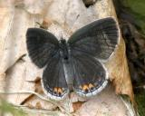 Eastern Tailed Blue - Everes comyntas (female)