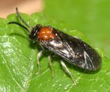 Metallus rohweri  (Larvae are leaf miners of Rubus)
