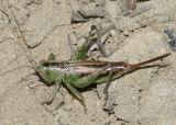 Conocephalus sp. (female)