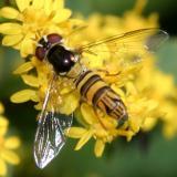 Allograpta obliqua (female)