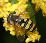 Eupeodes sp. (male)