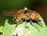 Rhingia nasica (female)