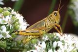 Differential Grasshopper - Melanoplus differentialis