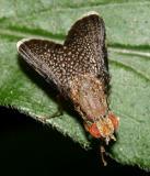 Eutreta noveboracensis