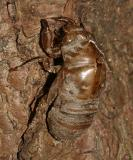 Cicada exuvia