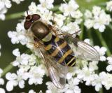 Syrphus sp. (female)