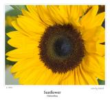 Sunflower (again)