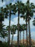 Desktop theme: Palm trees in the continent, Universal Studios, Orlando, FL