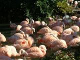 Flaming flamingoes, Sea World, Orlando, FL