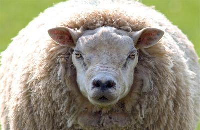ewe cant pull the wool over my eyes !