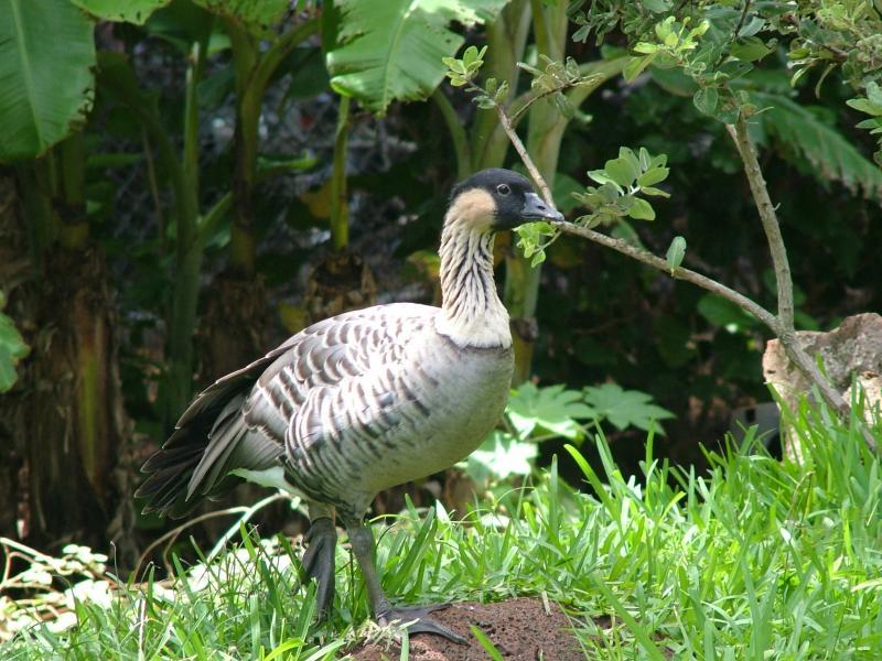 Nene - the State Bird