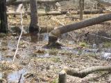 Beaver activity, Otter Creek