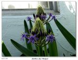 Caribbean Lily