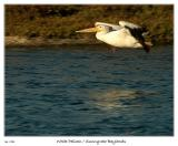 White Pelican at the Sunnyvale Baylands