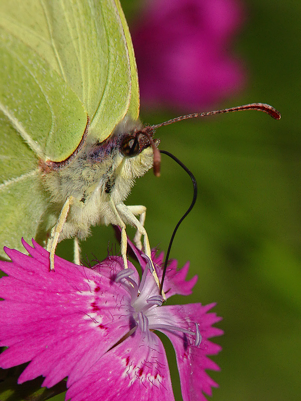 Zitronenfalter <I>(Gonepteryx rhamni)</I>
