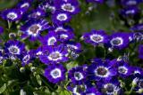 Indigo Bloom