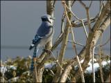 Blue Jay 2803.jpg