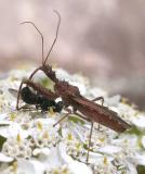 Assassin bug and prey -- Sinea diadema
